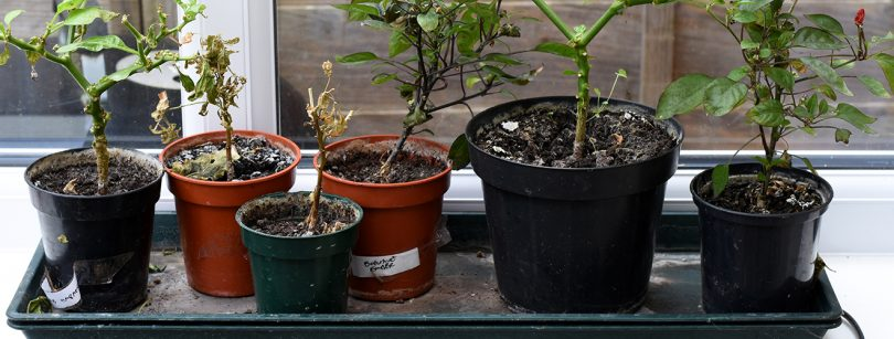 How to revive a chilli plant - Two Thirsty Gardeners