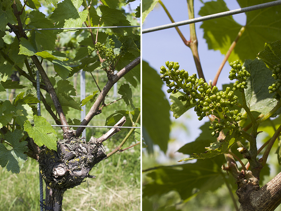 gorwing grapes flower buds