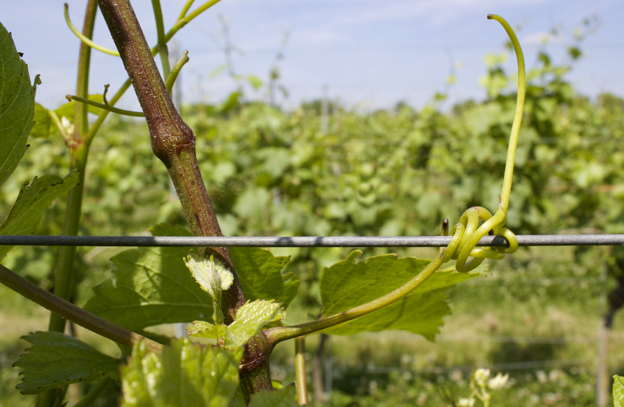 trellis wires growing grapes