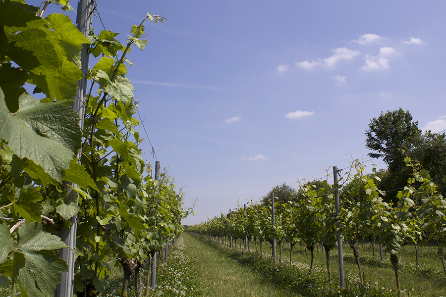 Vines growing in Dorset