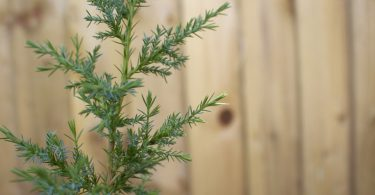 How to grow a juniper tree