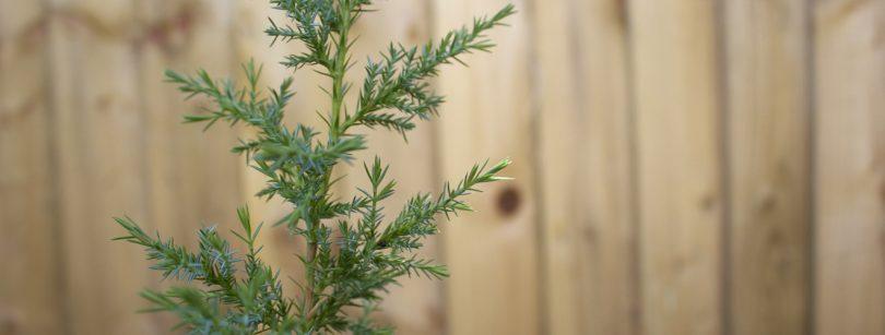 How to grow a juniper tree
