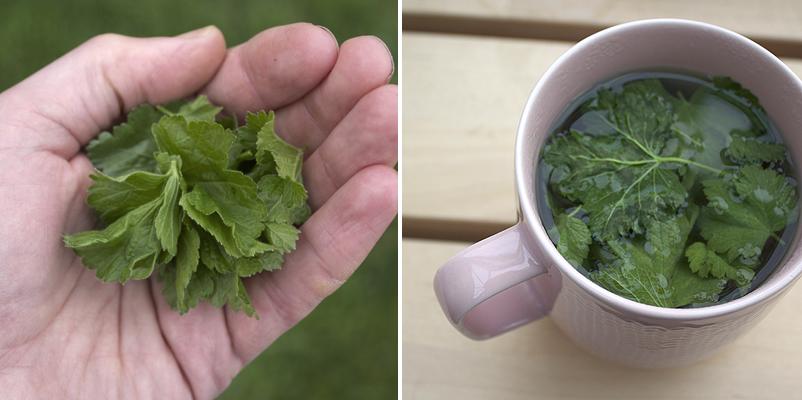 make your own blackcurrant leaf tea