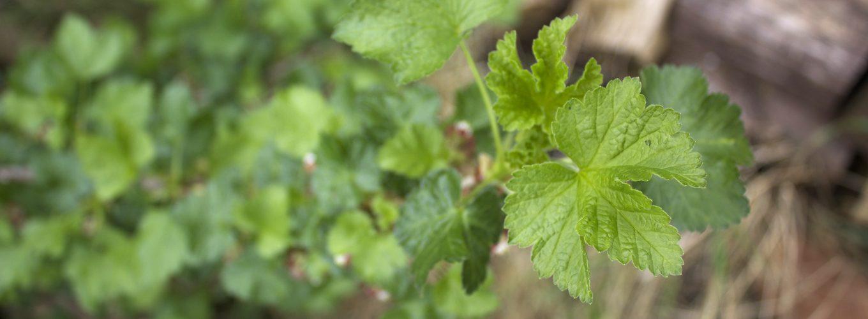 Blackcurrant bush garden leaf