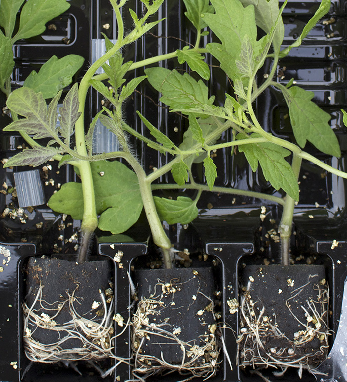 guide to grafted tomatoes
