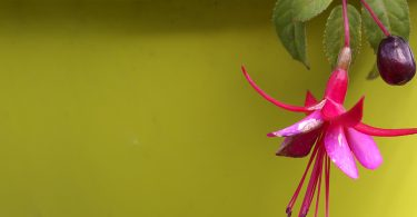 can you eat fuchsia berries