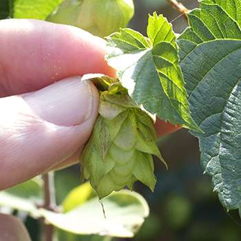 hops that are ready to pick