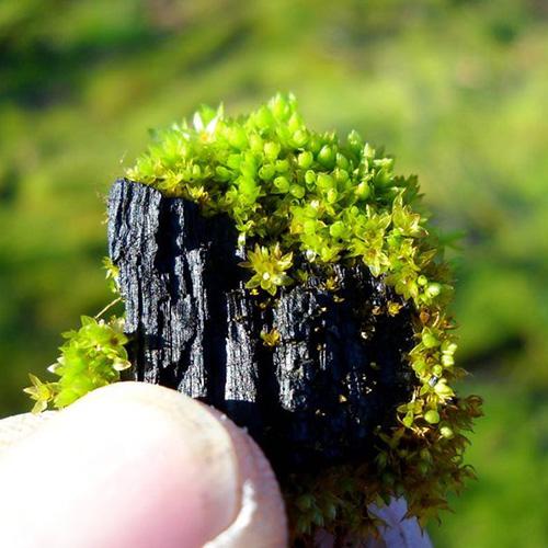 A piece of eco-friendly charcoal 'biochar'