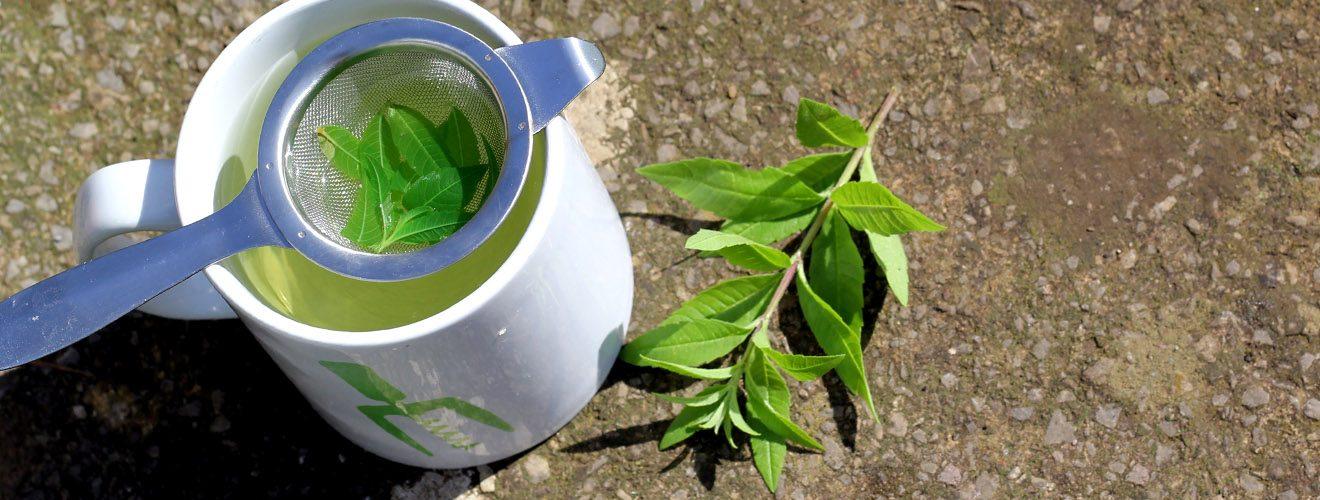 home grown lemon verbena herbal tea infusion