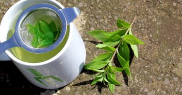 home grown lemon verbena herbal tea infusion